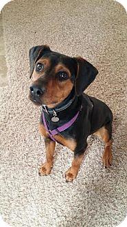 Black and Tan Coonhound/Doberman Pinscher Mix Dog for adoption in Kansas City, Missouri - Tessa