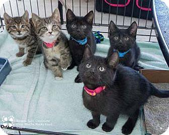 Domestic Shorthair Kitten for adoption in Merrifield, Virginia - Mocha