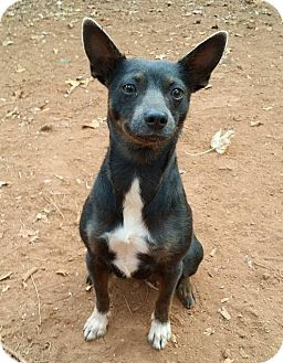 Miniature Pinscher/Chihuahua Mix Dog for adoption in Lawrenceville, Georgia - Little Lady