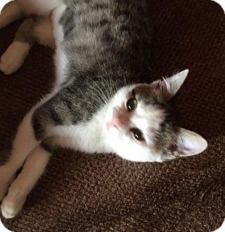 Domestic Shorthair Kitten for adoption in Toledo, Ohio - Francine