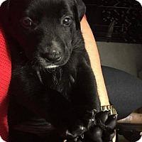 Pit Bull Terrier Mix Puppy for adoption in Charlotte, North Carolina - Shiraz