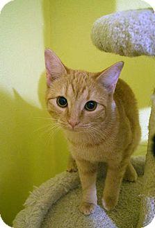 Siamese Kitten for adoption in Greeley, Colorado - Marigold