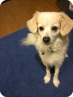 Tibetan Spaniel/Pomeranian Mix Dog for adoption in Houston, Texas - Bobby