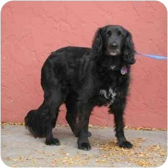 Flat Coated Retriever Cross Lucy | Adopted Dog | D...