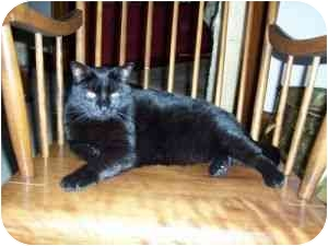 Domestic Shorthair Cat for adoption in North Plainfield, New Jersey - Allie