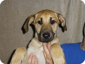 German Shepherd Dog/Labrador Retriever Mix Puppy for adoption in Oviedo, Florida - Arica