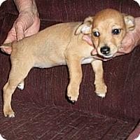 Adopt A Pet :: Snickers in San Antonio - San Antonio, TX
