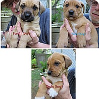 Adopt A Pet :: Sweetie's Boy Puppies - Gig Harbor, WA