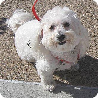 Maltese/Poodle (Miniature) Mix Dog for adoption in Vista, California - Obi