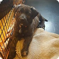 Adopt A Pet :: Ash - Toledo, OH