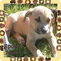 Adopt A Pet :: Spock Adoption pending - Manchester, CT