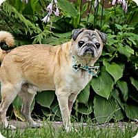 Adopt A Pet :: Theodore - Bristol, CT