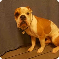 Adopt A Pet :: CAPONE - Upper Marlboro, MD
