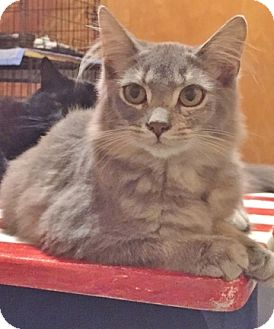 Domestic Longhair Cat for adoption in Somerset, Kentucky - Kia