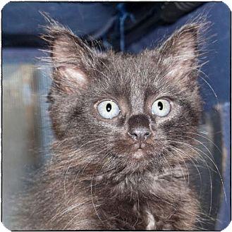 Domestic Longhair Kitten for adoption in Alpharetta, Georgia - Drake (CL)