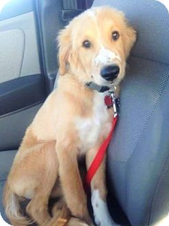 Golden Retriever/Border Collie Mix Dog for adoption in Wichita Falls, Texas - Frio