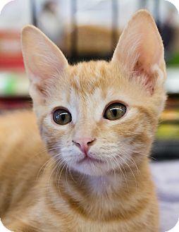 Domestic Shorthair Kitten for adoption in Gilbert, Arizona - Buddy
