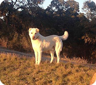 Labrador Retriever/Shepherd (Unknown Type) Mix Dog for adoption in San Antonio, Texas - Oscar