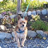 Pomeranian/Chihuahua Mix Dog for adoption in Whitehall, Pennsylvania - Henry
