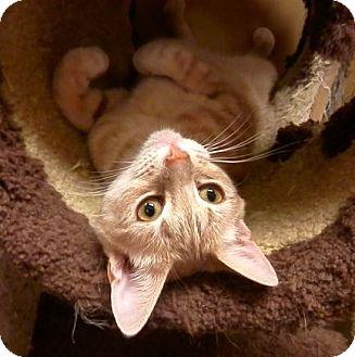 Domestic Shorthair Cat for adoption in Hallandale, Florida - Honey