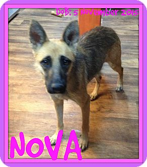 German Shepherd Dog Dog for adoption in Albany, New York - NOVA