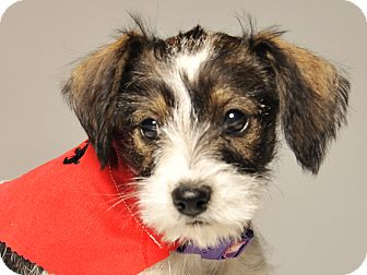 Terrier (Unknown Type, Small)/Chihuahua Mix Puppy for adoption in Crossville, Tennessee - Tinsel - Adoption Pending