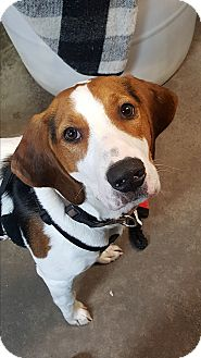Foxhound Mix Puppy for adoption in Pottsville, Pennsylvania - Flynn