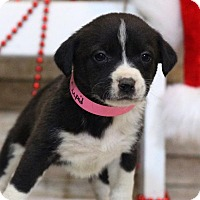 Adopt A Pet :: Cupid - Waldorf, MD