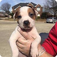 Adopt A Pet :: Cuff - Allen, TX