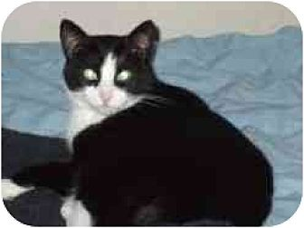 Domestic Shorthair Cat for adoption in Pasadena, California - Mira