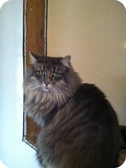 Maine Coon Cat for adoption in Chesterfield, Virginia - Savannah
