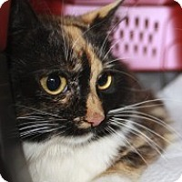 Adopt A Pet :: Chanterelle - Wayne, NJ