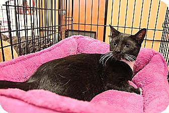 Domestic Shorthair Cat for adoption in Smyrna, Georgia - Henrietta