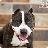 Adopt A Pet :: Nu (foster) - Portland, OR