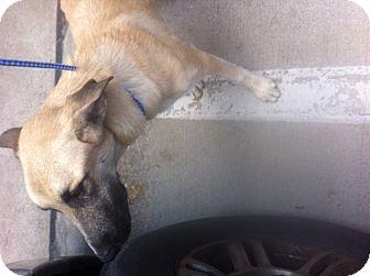 Anatolian Shepherd Mix Puppy for adoption in springtown, Texas - Coop