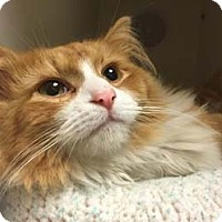 Adopt A Pet :: Allie - Merrifield, VA