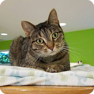 Domestic Shorthair Cat for adoption in Chicago, Illinois - Halle