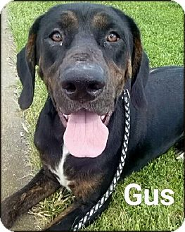 Labrador Retriever Mix Dog for adoption in Ottumwa, Iowa - Gus