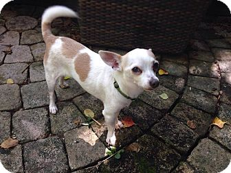 Chihuahua/Terrier (Unknown Type, Small) Mix Dog for adoption in Houston, Texas - A - TINY