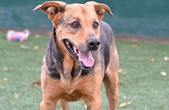 German Shepherd Dog Mix Dog for adoption in Newport Beach, California - Buddy Blue