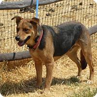 Adopt A Pet :: Rusty - Vacaville, CA