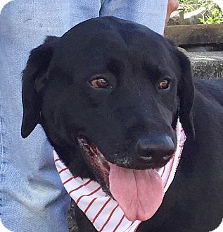 Labrador Retriever Mix Dog for adoption in Evansville, Indiana - Boscoe