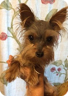 yorkie rescue missouri pete adopted dog kansas city mo yorkie yorkshire 4971