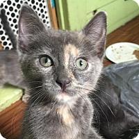 Adopt A Pet :: Pikachu - Chicago, IL