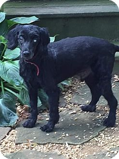 Poodle (Miniature) Mix Dog for adoption in Staunton, Virginia - Ramino