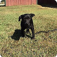 Labrador Retriever/Border Collie Mix Puppy for adoption in Washington, D.C. - Bitsey