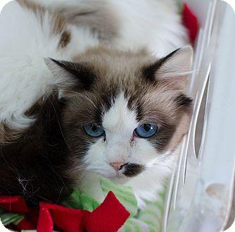 Ragdoll Cat for adoption in Greenwood, South Carolina - Dianna