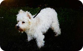 Miniature Schnauzer Dog for adoption in West Valley, Utah - Winter