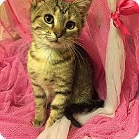 Adopt A Pet :: Hemmingway - Naperville, IL