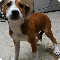 Adopt A Pet :: CORVETTE - Dallas, TX